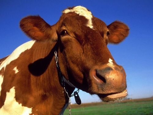 Vaches - 002