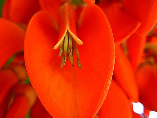 Erythrina umbrosa