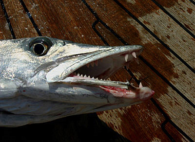 Barracuda-denture