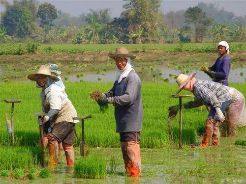 Paysans rizieres