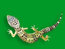 476c_Geckos