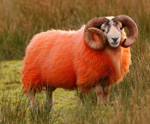 01_red_sheep