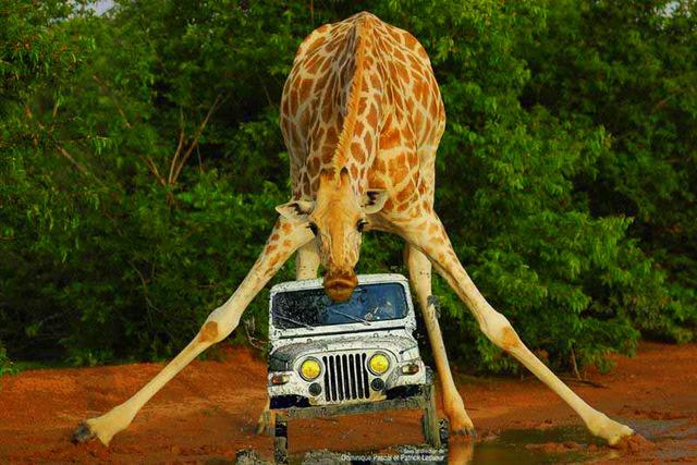Girafe_du_Niger copier
