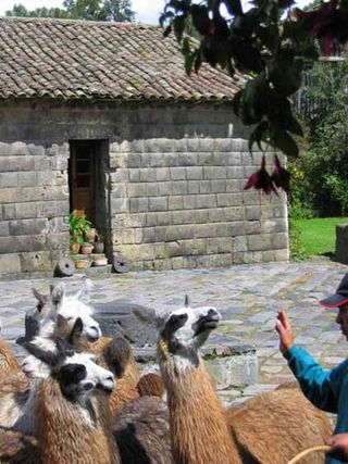 Incas lamas