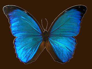 Papillon br-silien