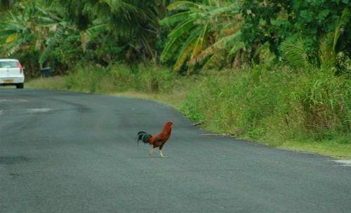 Poule qui traverse