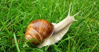 Snail_in_grass_garden_1