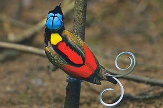 Paradisier rouge et bleu