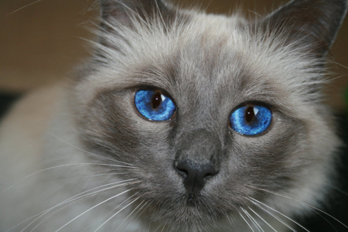 Birman_Cat_by_CLOWAPHiiNA