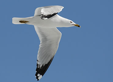 Seagull_opt