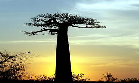 Baobab_tree_4_opt