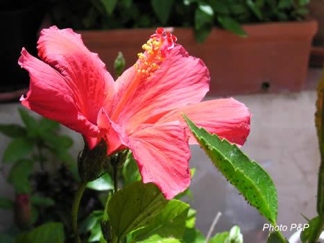 Hibiscus_fleur_entire_opt