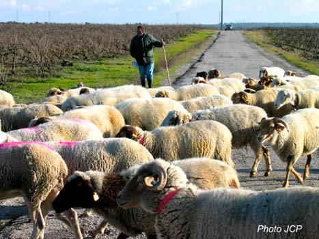 Ils_sont_dans_les_vignes_les_moutons_opt