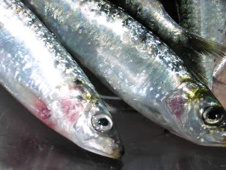 Sardines_opt