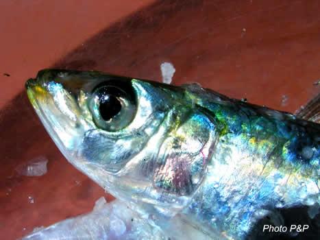 Tte_de_sardines_opt_1