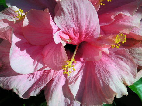 Hibiscus_rose_opt