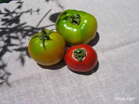 The_tomate_opt