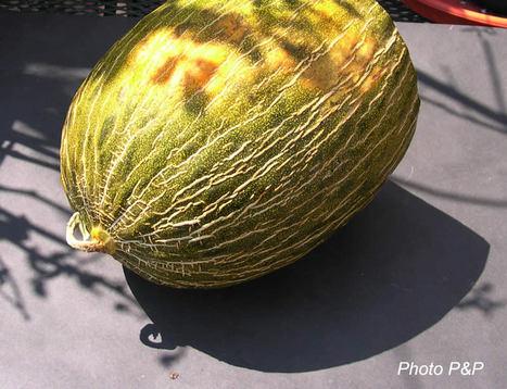 Melon_peau_de_crapaud_1_opt